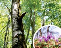 環境省選定 日本のかおり風景百選 毛無山ブナとカタクリの花